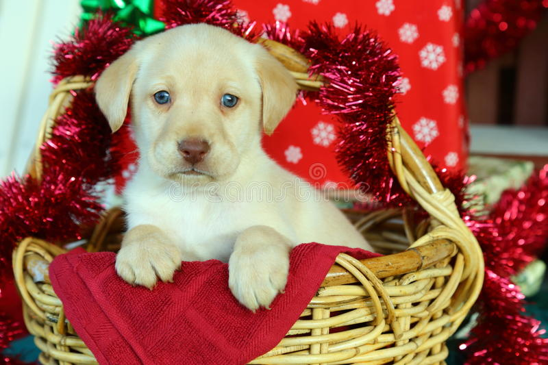 Yellow Labrador Retriever in Basket with Christmas Decorations royalty free stock photo