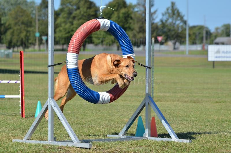 Yellow Labrador Retriever at Dog Agility Trial. Yellow Labrador Retriever Jumping Through a Tire at Dog Agility Trial stock photography