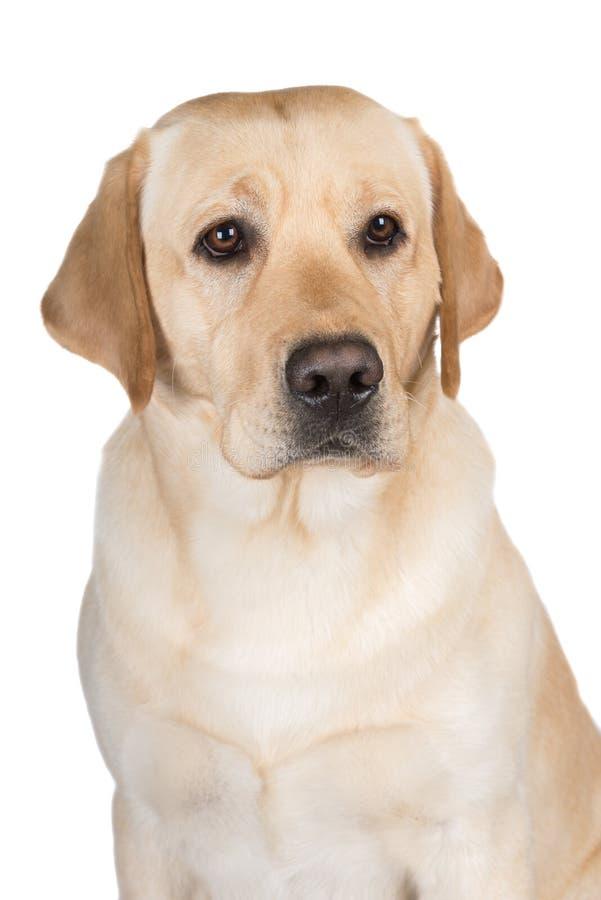 Yellow labrador retriever dog royalty free stock photos