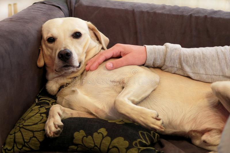Yellow labrador retriever dog enjoys company of his owner sitting on a couch together and petting lovely dogs. Owner having fun. Yellow labrador retriever dog royalty free stock image