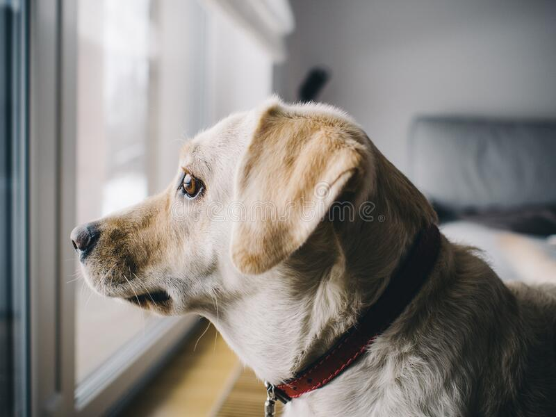 Yellow Labrador Retriever Facing Window In Room Free Public Domain Cc0 Image