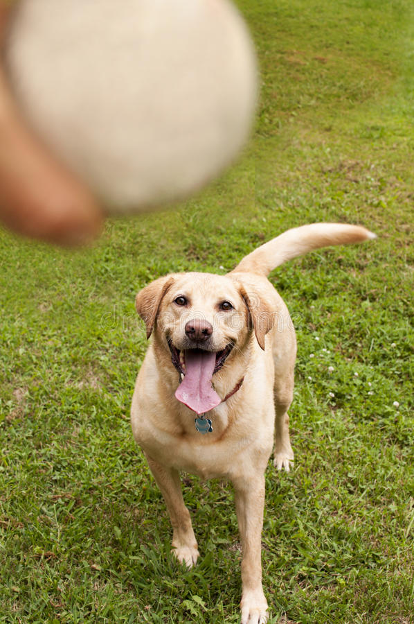 Yellow labrador retriever fetching ball. Yellow lab ready and eager to run after and fetch the ball being held stock photos