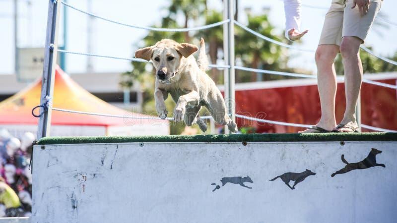 Yellow Labrador Retriever Jumping off dock. A yellow Labrador Retriever jumping off a dock into the pool royalty free stock photo