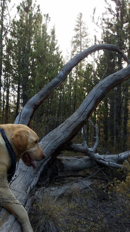 Yellow labrador retriever jumping old fallen tree. Grey, green, bright stock images