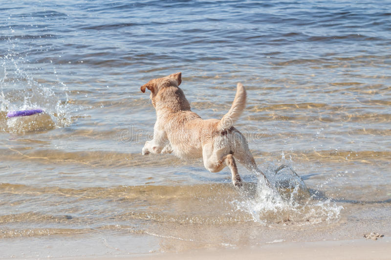 Yellow labrador retriever jumping into water. Have fun royalty free stock image