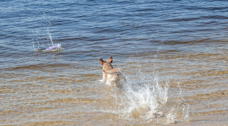 Yellow labrador retriever jumping into water. Have fun royalty free stock photos