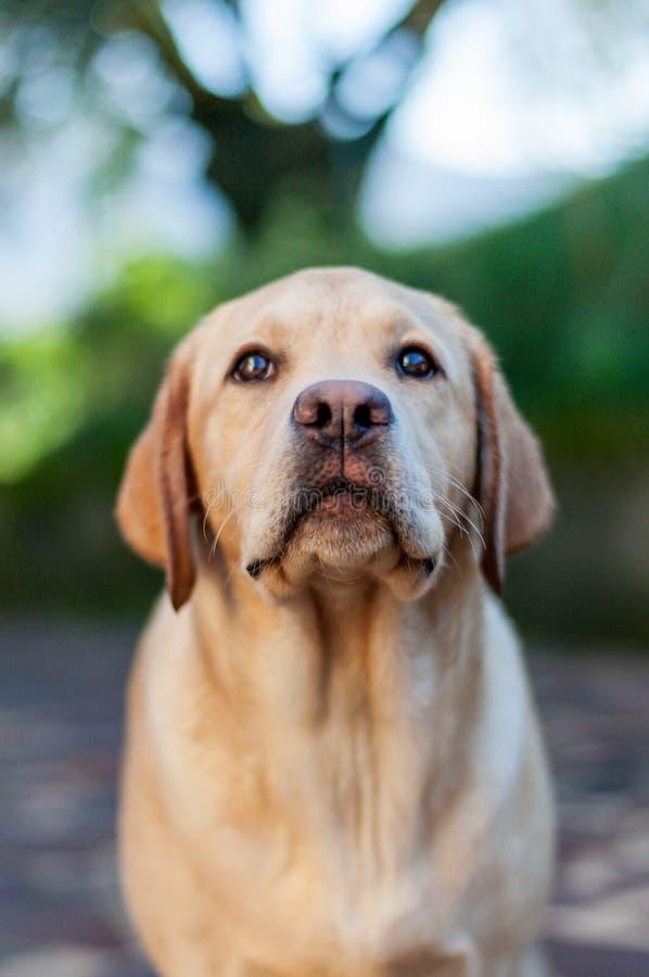 Yellow labrador retriever puppy facing camera stock image