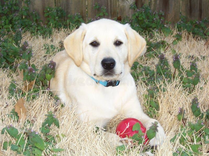 Yellow Labrador Retriever Puppy royalty free stock photos