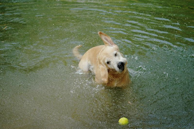 Yellow Labrador retriever swimming and playing tennis balls in the natural pond. stock photos