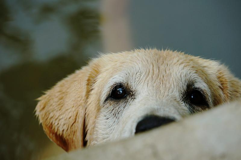 Yellow Labrador retriever waiting for the order royalty free stock photos