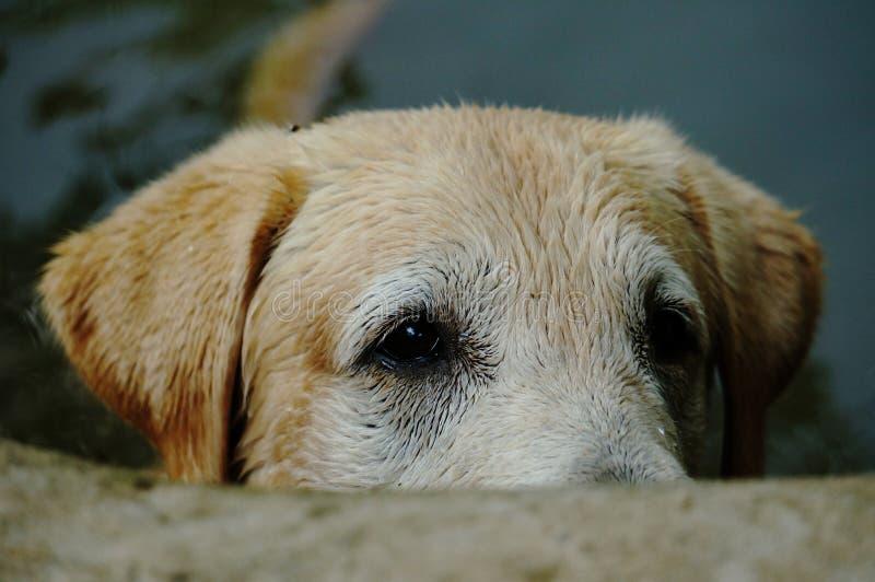 Yellow Labrador retriever waiting for the order stock photos