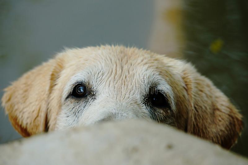 Yellow Labrador retriever waiting for the order stock photography