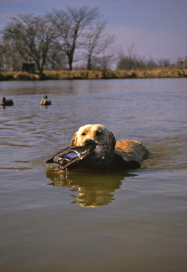 Free Yellow Labrador Retriever With Duck Stock Photos - 13114393