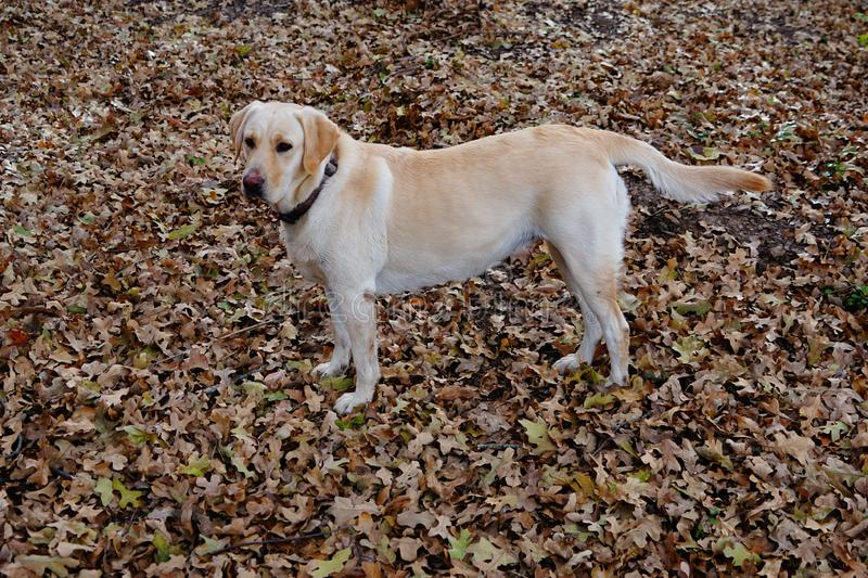 A yellow labrador standing in the oak leaves stock photography