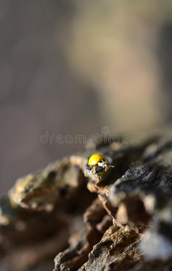 Yellow lady bird insect at the tree trunk. Background, blurred, nature, wooden, small royalty free stock photo