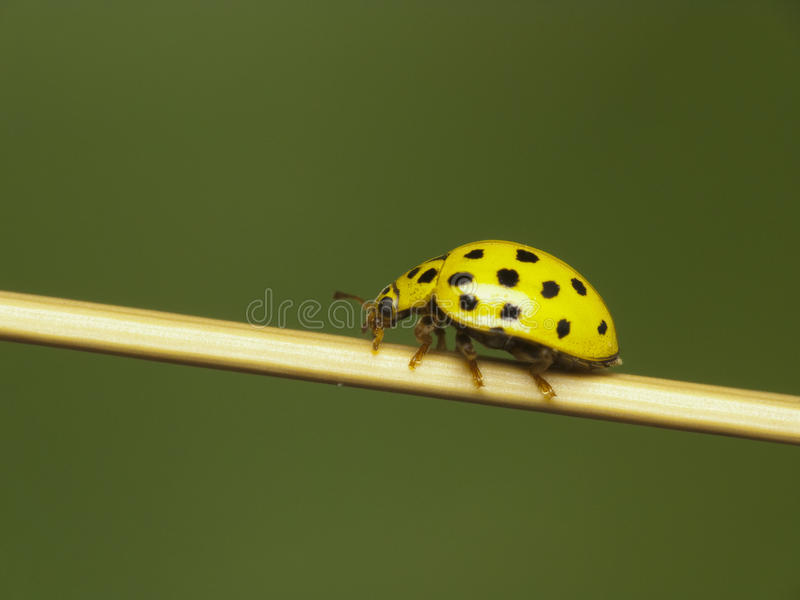 Download Yellow ladybug stock photo. Image of spotted, tiny, yellow - 29265894