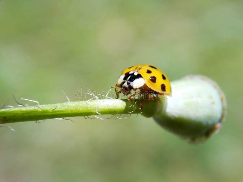 Yellow ladybug on plant. One yellow ladybug on plant royalty free stock images