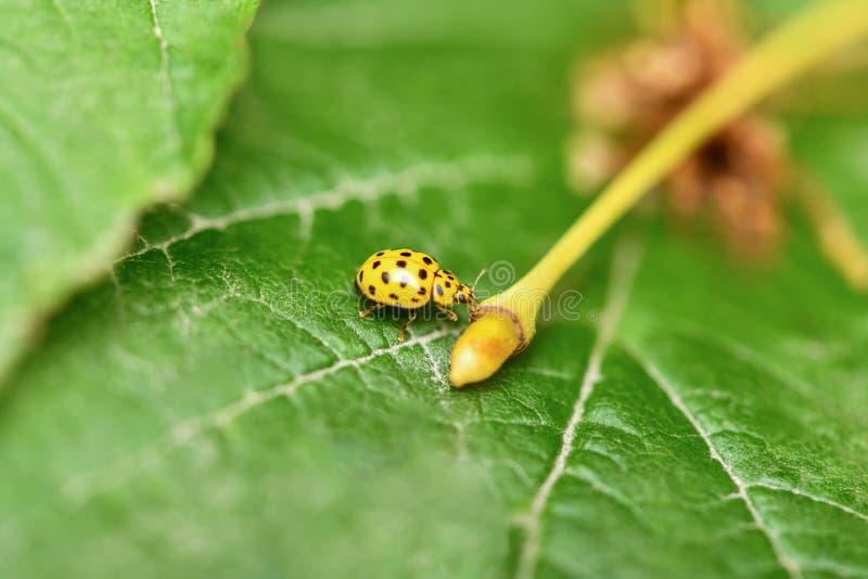 Yellow ladybug sitting on a green leaf stock image