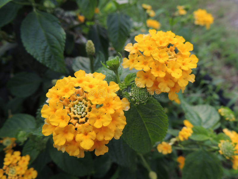 Yellow Lanata Camra royalty free stock image