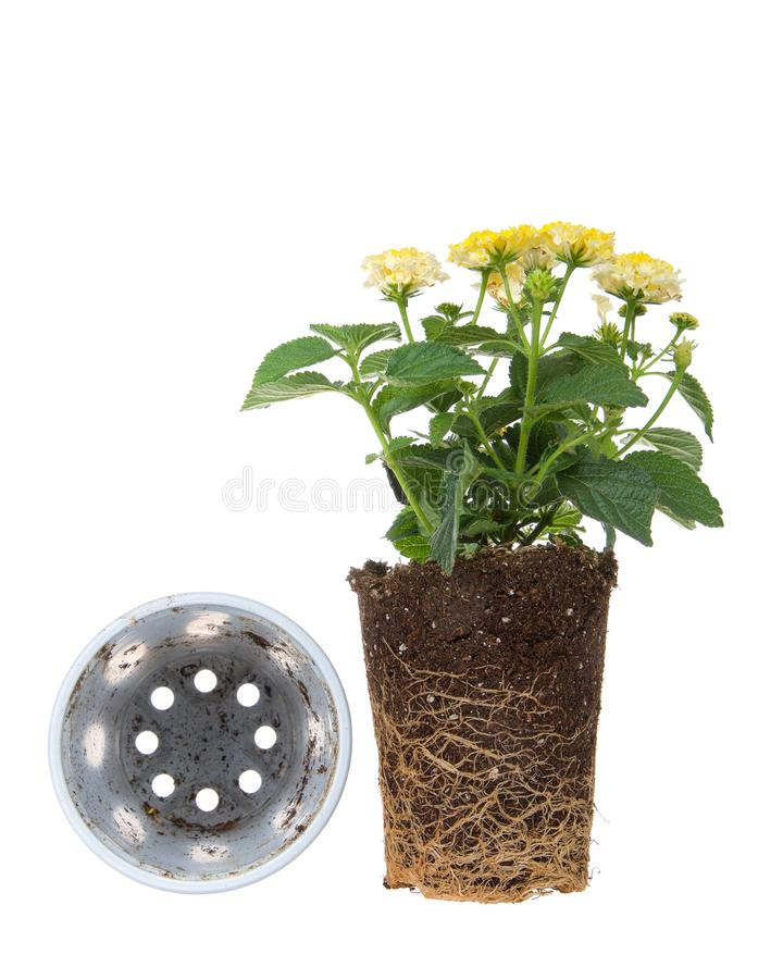 Yellow lantana flower plant, rootbound, isolated on white. Yellow lantana flower plant, root bound, isolated on white next to overturned pot. Root bound refers stock photo