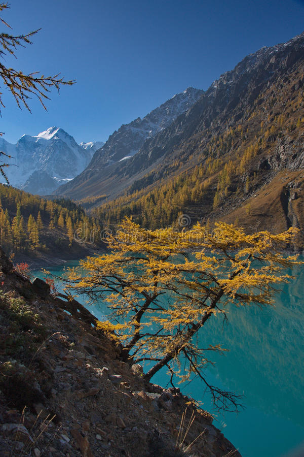 Yellow larch against the background of turquoise water of the lake and a mountain landscape stock photo