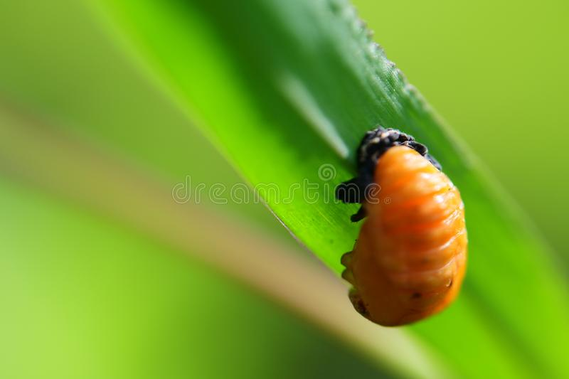Yellow Larvae on the leaf stock photo