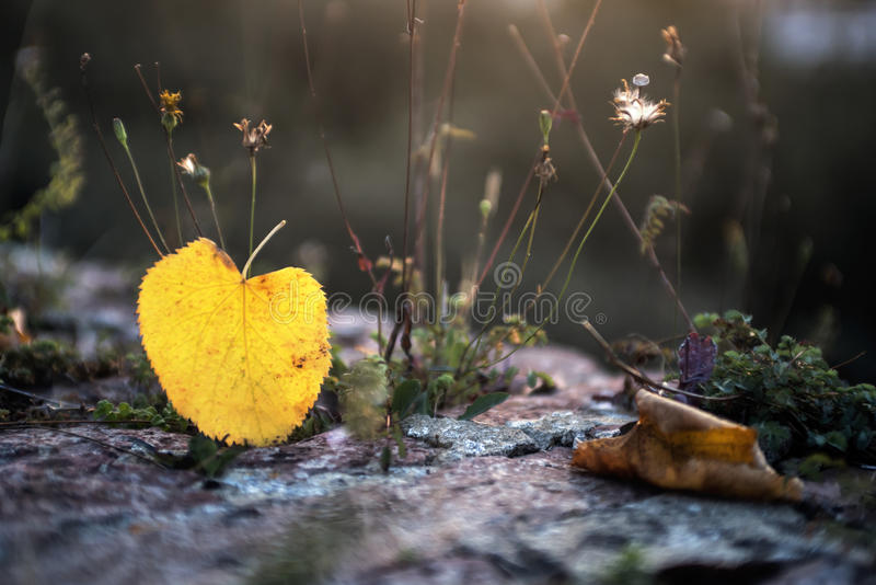 Yellow leaf. Autumn colors, bright yellow leaf stock photos