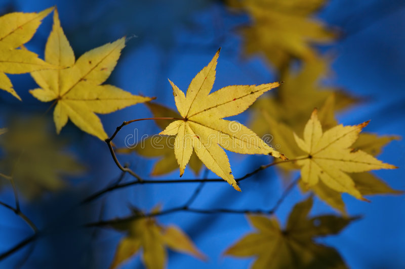 Yellow leaf on blue stock image