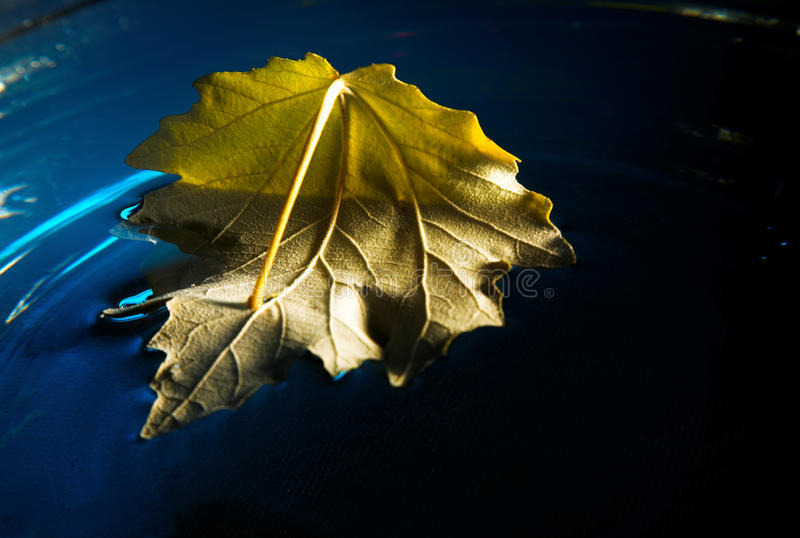 Download Yellow leaf on blue water stock photo. Image of seasonal - 26501102