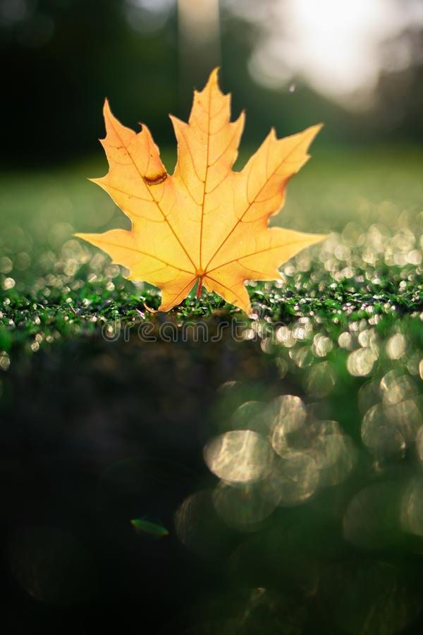 The yellow leaf of the Canadian maple fell from the tree on the wet grass and shines through the suns bokeh environments. The colors and mood of autumn. view royalty free stock photography