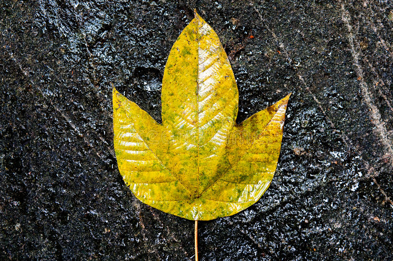 Download Yellow Leaf On A Black Rock Stock Photo - Image: 29726572