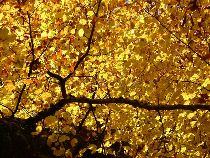 Yellow, Leaf, Deciduous, Maidenhair Tree stock photography