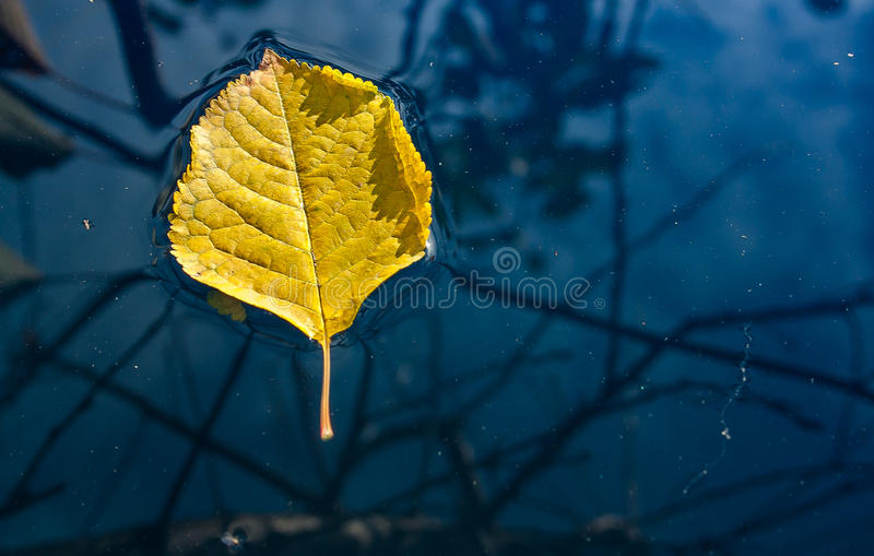Yellow leaf floating in water. Yellow leaf floating on the water surface royalty free stock image