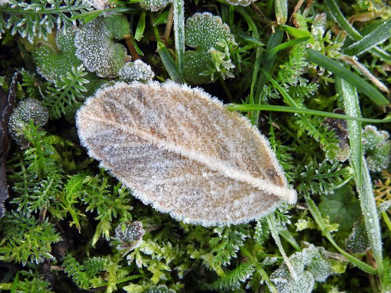 Yellow leaf in frost. Yellow autumn leaf in frost, Lithuania royalty free stock image