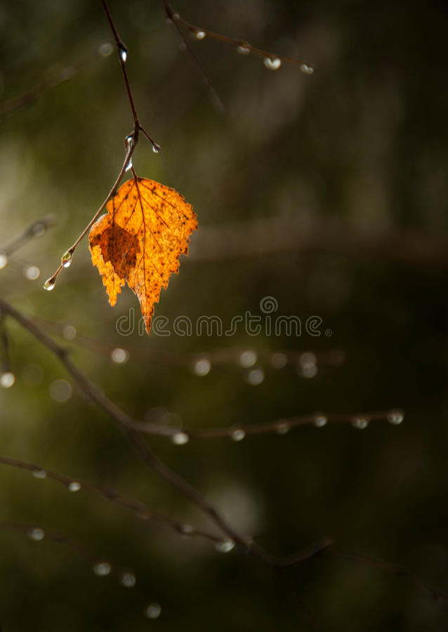 Yellow leaf. Green autumn. Yellow leaf. Nature. Rain. A drop of water. Autumn mood. Weather in rain mood. Forest, tree royalty free stock photos