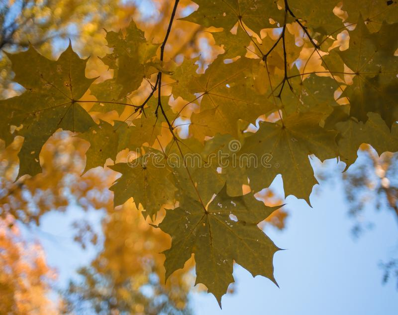 Maple leaves close-up macro texture sunlight autumn yellow bokeh background outdoor blue sky. Yellow leaf maple close-up texture autumn day sunlight beautiful royalty free stock photography
