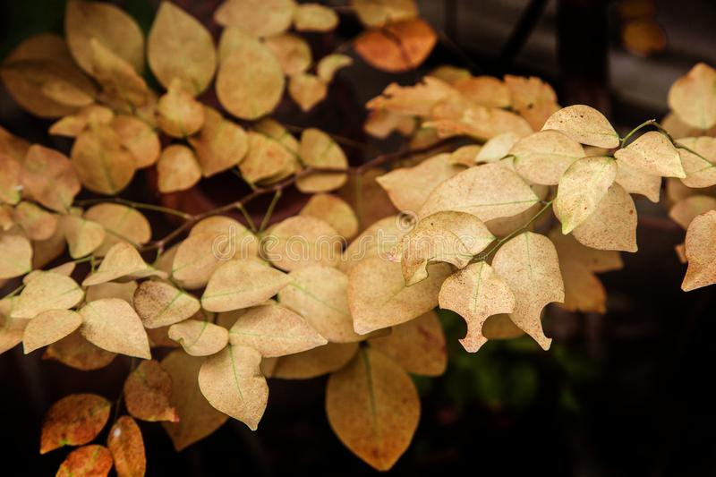 yellow leaf on tree in autumn season for nature royalty free stock images