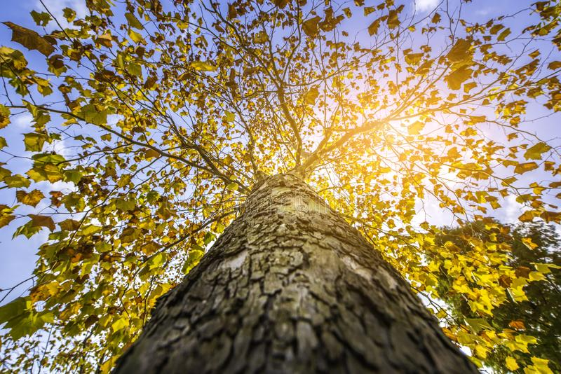 Yellow leaf tree elevation angle stock images