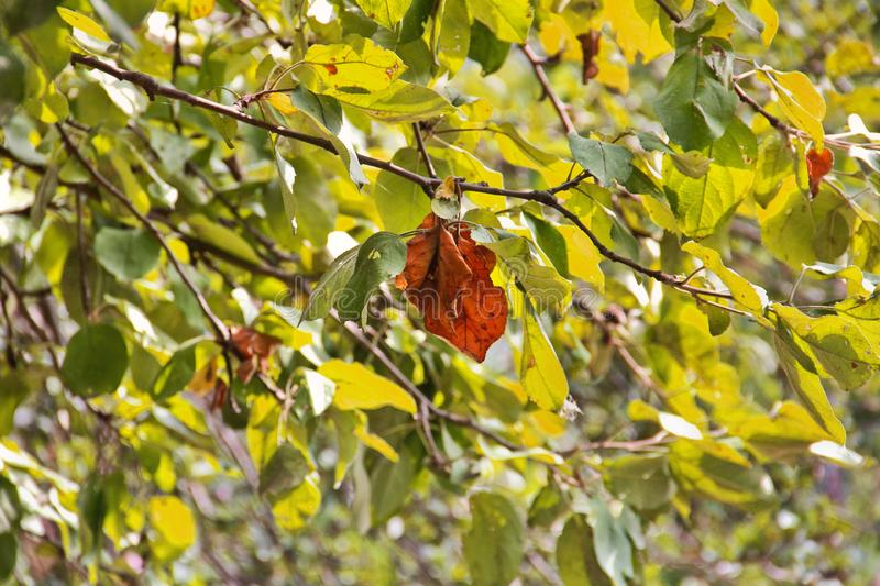 Yellow leaf on a tree in the fall.  royalty free stock photography