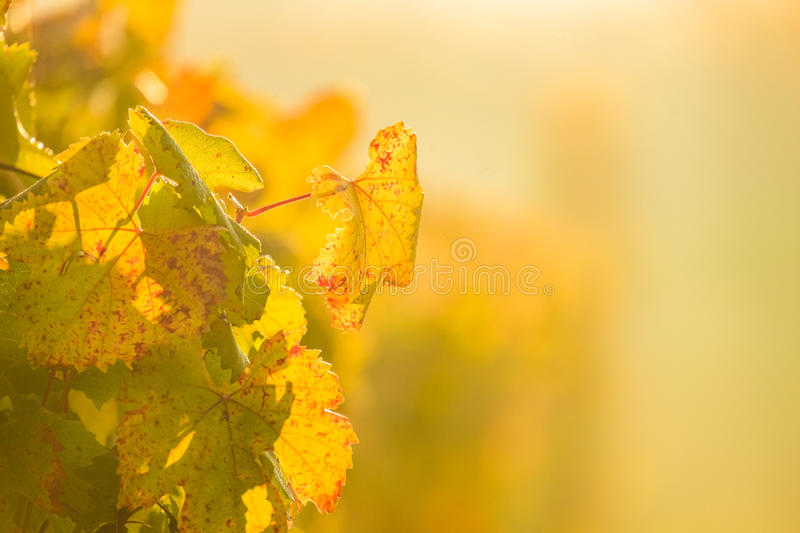Yellow leaf of vineyard during autumn royalty free stock images