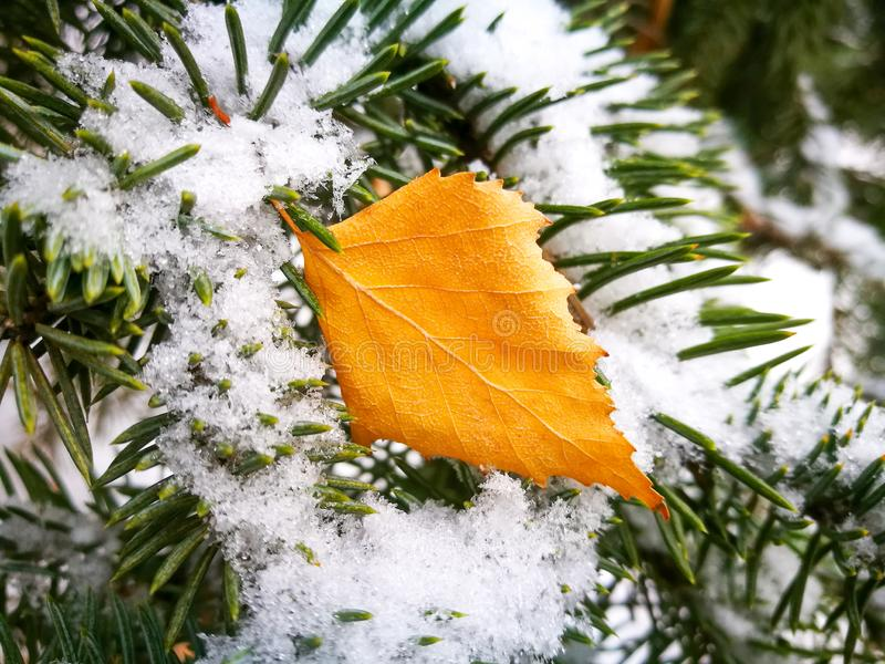 Yellow leaf and white snow on a pine branch stock images