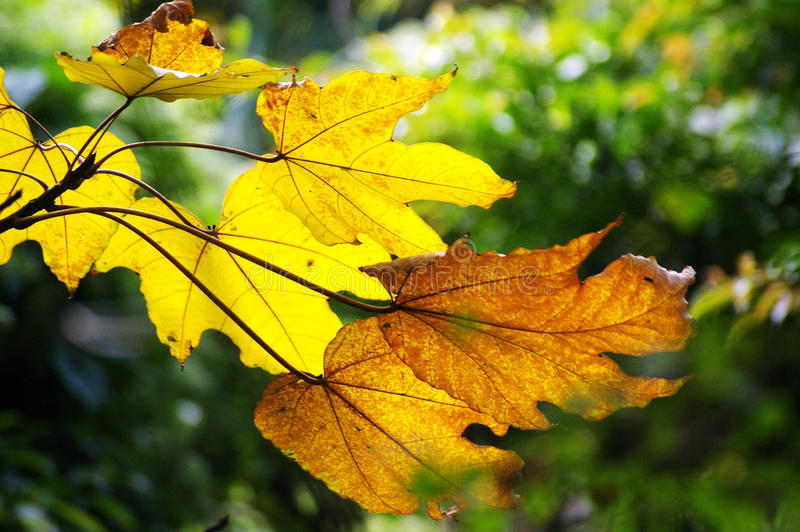 Yellow leafs in Autumn royalty free stock photography