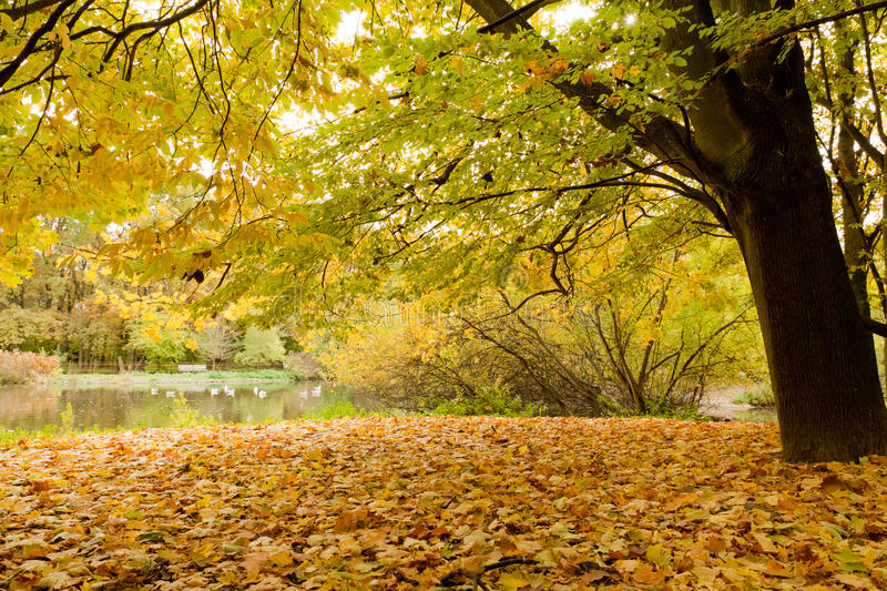 Yellow leafs in park at fall stock photography