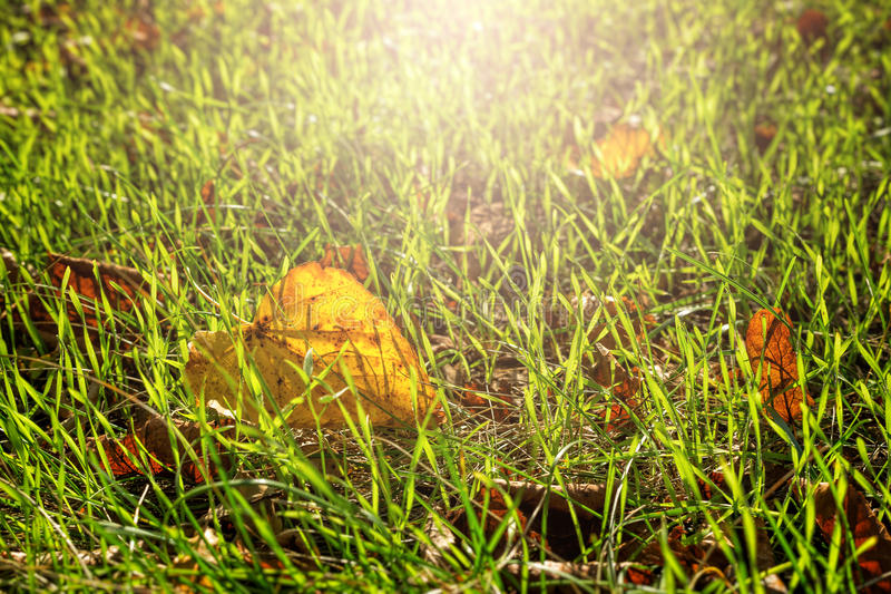 Yellow leave and green grass royalty free stock image