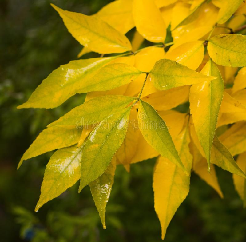 Yellow leaves. Autumn in yellow colors stock photography