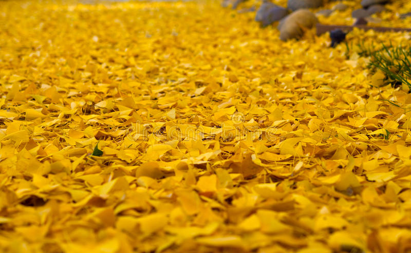 Yellow leaves with autumn colors. Thick carpet of yellow leaves with autumn colors stock photos