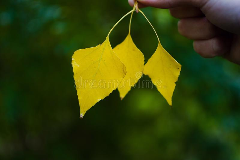 Yellow leaves. Autumn in forest royalty free stock photo