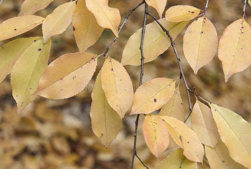 Yellow leaves in the autumn forest royalty free stock photography