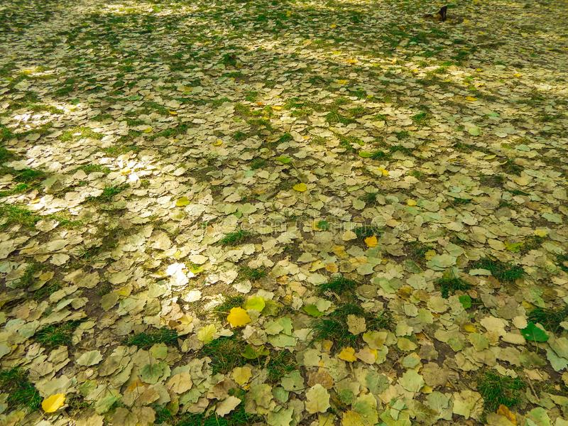 Yellow leaves in autumn laying on the ground in the park stock images