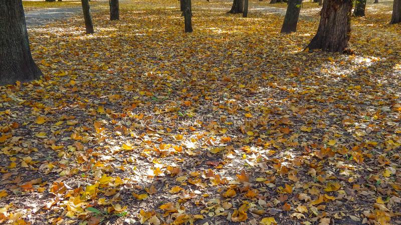 Yellow leaves in autumn laying on the ground in the park stock photo